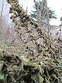 20180105Verbascum thapsus5.jpg