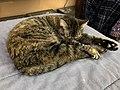 2019-11-30 12 08 25 A Tabby cat sleeping on a bed in the Franklin Farm section of Oak Hill, Fairfax County, Virginia.jpg