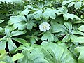 2020-04-26 17 05 43 A Mayapple flowering along a walking path in the Franklin Glen section of Chantilly, Fairfax County, Virginia.jpg
