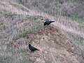 2020-10-19 Two Carrion Crows on Trimingham Beach.jpg