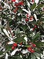 2020-12-16 11 34 36 Holly leaves and berries coated in snow along Old Dairy Court in the Franklin Farm section of Oak Hill, Fairfax County, Virginia.jpg