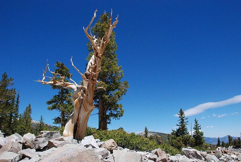 File:3,000 year old Bristlecone Pine Great Basin Nevada.jpg
