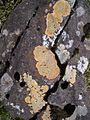 31 Flavors of Lichen and Moss (3026558984).jpg