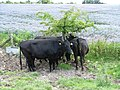 3 cows shelter under a very small tree on the Ridgeway - geograph.org.uk - 507668.jpg