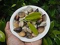 4022Common houseflies cats ants plants foods of Bulacan 61.jpg