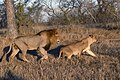 8795 S Africa lions JF.jpg
