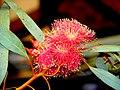 A@a flowers (eucalyptus) - panoramio.jpg