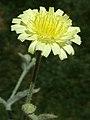 A.integrifolia-cap.-3g.jpg