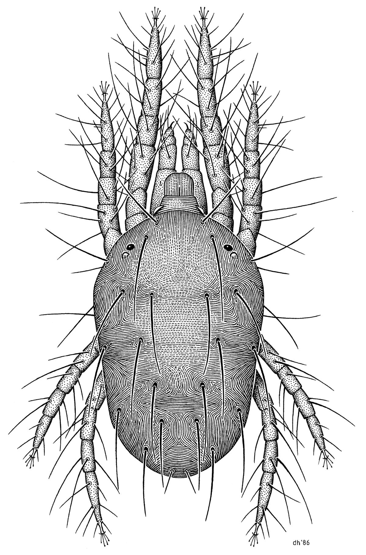 Tetranychus urticae - Wikipedia