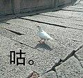 A QQ sticker - a white dove.jpg