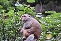 A Stump- tailed- Bear- tailed Macaque with her young (31489200272).jpg