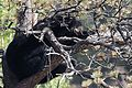 A black bear resting in a tree, in downtown Estes Park (6181697614).jpg