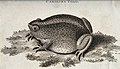 A carolina toad sitting on a patch of grass. etching by Hill Wellcome V0020686.jpg