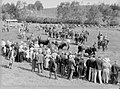 A crowd watches a procession of cattle horses and riders cross a field (AM 77107-1).jpg