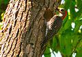 A female Red-bellied Woodpecker feeding her chick.jpg
