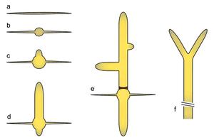 Eremothecium gossypii - Image: A gossypii Dev