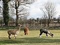 A group of alpacas - geograph.org.uk - 740551.jpg