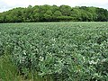A large field of beans - geograph.org.uk - 1347851.jpg