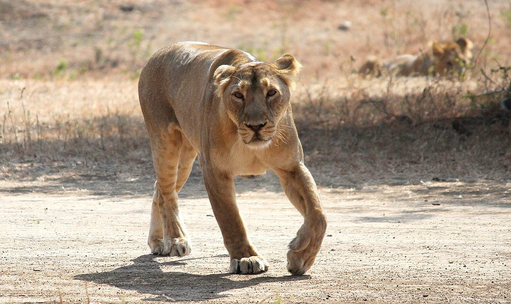 A lioness aproaching towards us.jpg