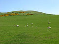A pasture field at Bonchester Hill - geograph.org.uk - 795089.jpg