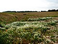 A patch of corn chamomile (Anthemis arvensis L.) and stinking chamomile (Anthemis cotula L.) - geograph.org.uk - 555183.jpg