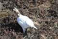A ptarmigan just beginning its change from winter phase (white) to summer phase (brown) (ccefe420-1871-4f2c-9561-5e5207c03520).jpg