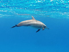 A spinner dolphin in the Red Sea.jpg