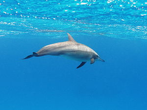Spinner dolphin - A spinner dolphin in the Red Sea