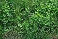 A vegetation of the class Galio-Urticetea.jpg