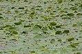 A view of Atchankulam Pond, Kanyakumari District JEG1944.jpg