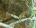 Abisares viridipennis, Krantzkloof NR.jpg