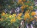 Acacia blayana flowering.jpg
