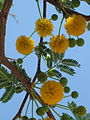 Acacia farnesiana, (Needle Bush), Skala Kalloni, Lesbos, Greece.jpg