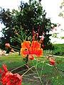 Acacia loretensis.jpg