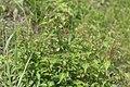 Acalypha australis 6.JPG