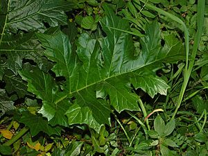 Acanthus mollis - Leaf of Acanthus mollis
