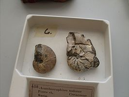 Acanthoscaphites nodosus