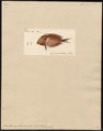 Acanthurus striatus - 1700-1880 - Print - Iconographia Zoologica - Special Collections University of Amsterdam - UBA01 IZ13700043.tif