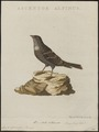 Accentor alpinus - 1829 - Print - Iconographia Zoologica - Special Collections University of Amsterdam - UBA01 IZ16200386.tif