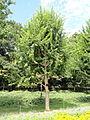 Acer buergerianum - Nagai Botanical Garden - DSC07648.JPG