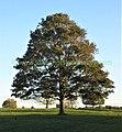 Acer pseudoplatanus, Sycamore (37963711092).jpg