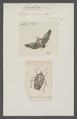 Aceratodes - Print - Iconographia Zoologica - Special Collections University of Amsterdam - UBAINV0274 040 03 0012.tif