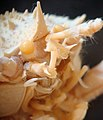Acercamiento de la langostilla Munidopsis producta.jpg