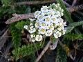 Achillea odorata FlowersCloseup2 25July2009 SierraNevada.jpg