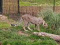Acinonyx jubatus -Chester Zoo, England-8a.jpg