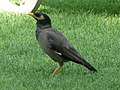 Acridotheres tristis in the grounds of the Le Royal Méridien Beach Resort and Spa in Dubai 9.jpg