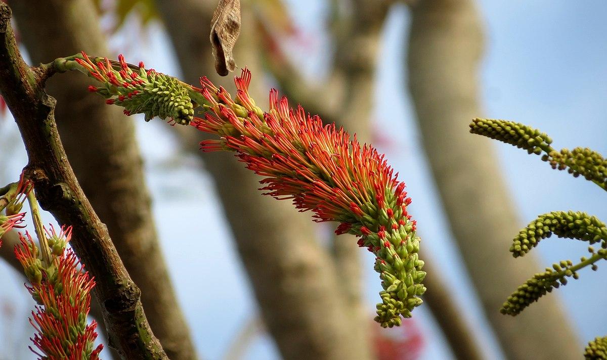 Acrocarpus Fraxinifolius Wikipedia