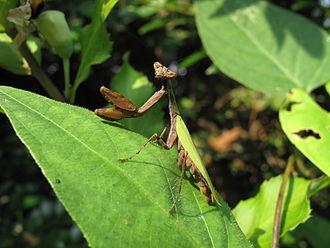 Flower mantis - Image: Acromantis japonica IMG 4805