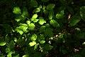 Actaea spicata leaf (03).jpg
