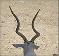 Addax-Jerusalem-Biblical-Zoo-IZE-592.jpg